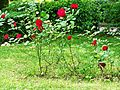 Scarperia-Roses in a park.jpg