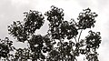 Schefflera morototoni (Aubl.) Maguire, Steyerm. & Frodin (8182011540).jpg