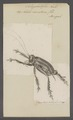 Schizodactylus - Print - Iconographia Zoologica - Special Collections University of Amsterdam - UBAINV0274 066 01 0002.tif