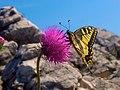 Schwalbenschwanz Papilio machaon.jpg