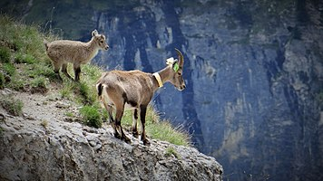 Scientific monitoring of ibex in Vanoise National Park, France (4).jpg