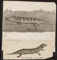 Scincus oficinalis - 1700-1880 - Print - Iconographia Zoologica - Special Collections University of Amsterdam - UBA01 IZ12600015.tif