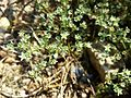 Scleranthus perennis sl10.jpg
