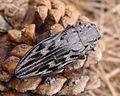 Sculptured Pine Borer . probably Chalcophora virginiensis. Buprestidae. - Flickr - gailhampshire.jpg