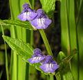 Scutellaria galericulata.JPG