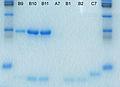 Sds-page electrophoresis.jpg