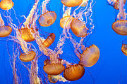 Sea Nettle 2 Monterey Bay Aquarium.jpg