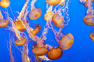 Chrysaora fuscescens - Image: Sea Nettle 2 Monterey Bay Aquarium