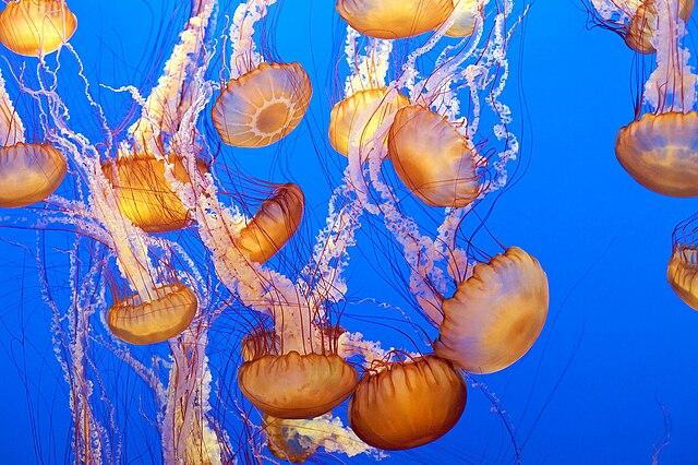 Telo medúz je tvorené z 97% vodou