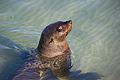 Seal at Hout Bay 7.jpg