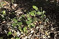Seedlings of Quercus ilex - Junas 002.jpg