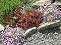 Sempervivum marmoreum 'ornatum' 5.jpg