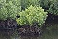 Semporna Sabah Mangroves-between-Kg-Bubul-and-Kg-Air-Sri-Jaya-01.jpg