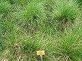 Sesleria caerulea - Berlin Botanical Garden - IMG 8542.JPG