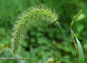 Grüne Borstenhirse (Setaria viridis)
