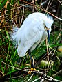 Shark Valley - bird Paradise W of Miami - Snowy Egret (Egretta thula) - (26362002673).jpg