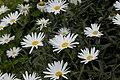 Shasta daisies (284583040).jpg