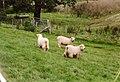 Sheep at Lower House Farm - geograph.org.uk - 588653.jpg