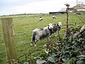 Sheep in dogs clothing - geograph.org.uk - 1040472.jpg