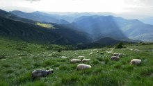 Файл:Sheeps on Pip Ivan Marmaroskyi mountain.webm