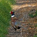 Sheppey Pheasant - geograph.org.uk - 389643 (cropped).jpg
