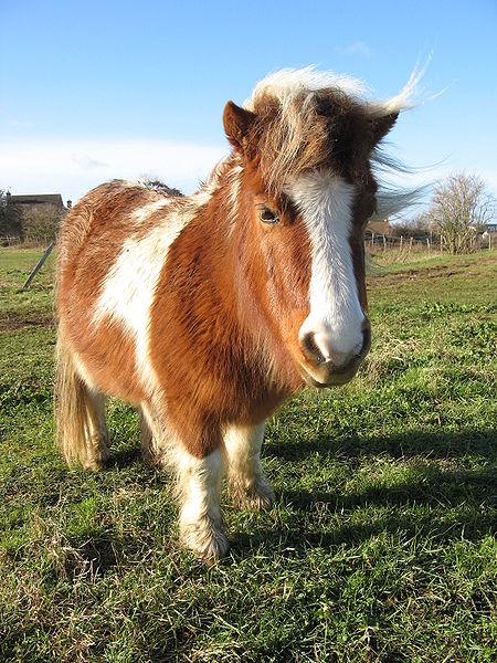 450px-Shetland_pony_20090117.jpg