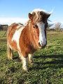Shetland pony 20090117.jpg