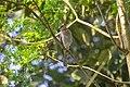Shikra (Accipiter badius) found in Southern Kerala.jpg