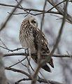 Short-eared Owl (Asio flammeus) (32006554894).jpg