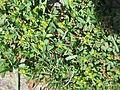 Sibbaldia procumbens001.jpg