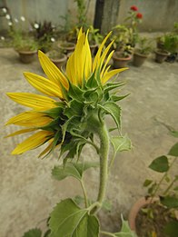 Side rear view of Sunflower head- Helianthus