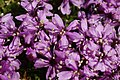 Silene acaulis (flowers).jpg