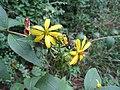 Silphium asteriscus.jpg