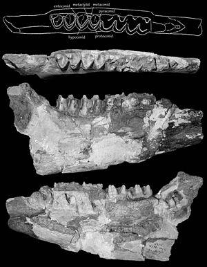 Sinohippus - Sinohippus sampelayoi holotype