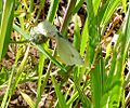 Small White. u-s. Artogeia rapae - Flickr - gailhampshire.jpg