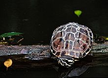 Snail Eating Turtle (Malayemys subtrijuga) (7783149638).jpg