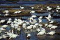 Snow Geese Flock at Water.jpg