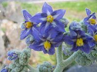 Solanum mauritianum (Flower)