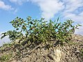 Solanum nitidibaccatum sl68.jpg