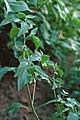 Solanum physalifolium 1392068.jpg