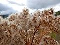 Solidago canadensis - Canada goldenrod - Flickr - Matt Lavin (2).jpg