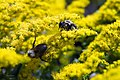 Solidago canadensis Crown of Rays 4zz.jpg