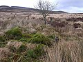 Solitary tree on Emblehope Moor - geograph.org.uk - 1185978.jpg