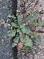Sonchus oleraceus 108228981.jpg