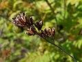 Sorbaria sorbifolia 2017-05-16 0359.jpg