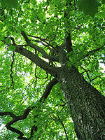 Sorbus torminalis Trunk and canopy.jpg