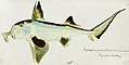 Southern Pacific fishes illustrations by F.E. Clarke 110.jpg