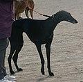 Spanish Greyhound black 2.jpg