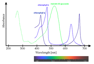 Chlorophyll -  Superposition of spectra of chlorophyll a and b with oenin (malvidin 3O glucoside), a typical anthocyanidin, showing that, while chlorophylls absorb in the blue and yellow/red parts of the visible spectrum, oenin absorbs mainly in the green part of the spectrum, where chlorophylls don't absorb at all.