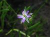 Spergularia salina.jpeg
